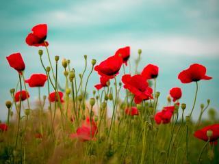 poppies, field, flower wallpaper