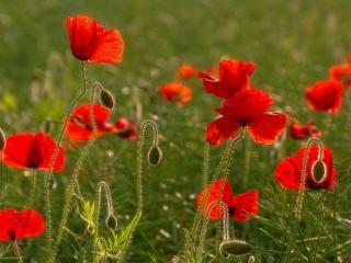 poppies, field, greens wallpaper