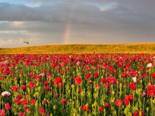 poppies, field, sky wallpaper
