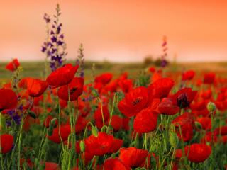 poppies, flowers, field wallpaper