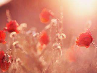 poppies, grass, flowers wallpaper
