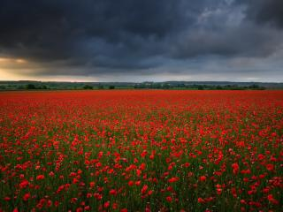 Poppy Flower Field wallpaper