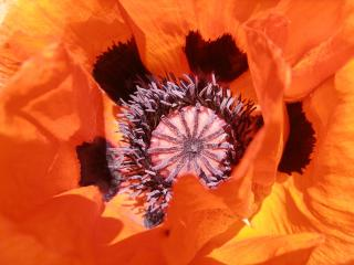 poppy, petals, flower wallpaper