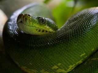 python, snake, head wallpaper