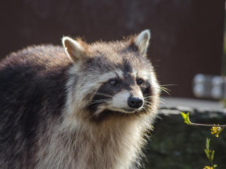 raccoon, muzzle, striped wallpaper