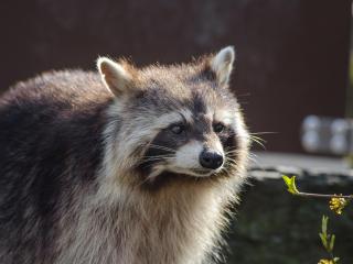 raccoon, muzzle, striped wallpaper