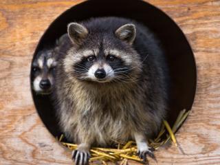 raccoon, striped, animal wallpaper