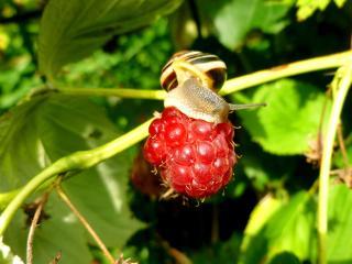 raspberries, snail, berry wallpaper