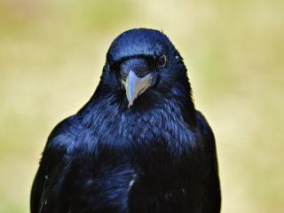 raven, bird, beak wallpaper