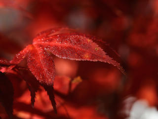 Red Leaf Macro wallpaper