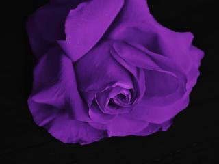 rose, bud, petals wallpaper