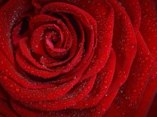 rose, flower, petals wallpaper
