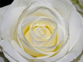 HD Wallpaper | Background Image rose, petals, close-up