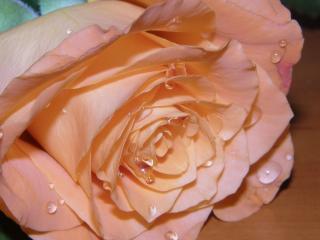 rose, petals, drops wallpaper
