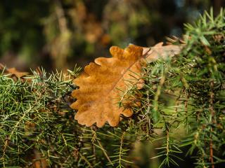 rosemary, oak, leaves wallpaper