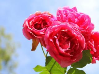 roses, flowers, flower wallpaper