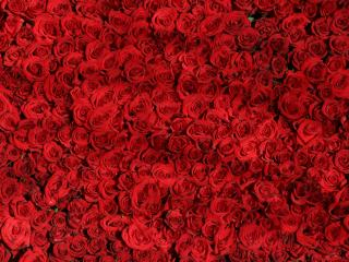 roses, flowers, many wallpaper
