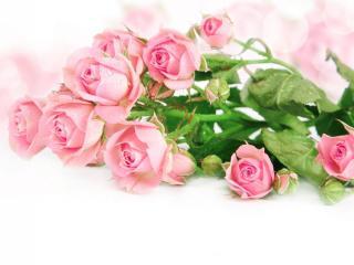 roses, flowers, tender wallpaper
