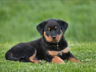 rottweiler, puppy, dog wallpaper