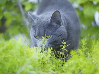 russian blue, cat, grass wallpaper