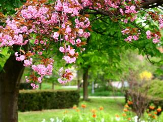 sakura, bloom, spring wallpaper