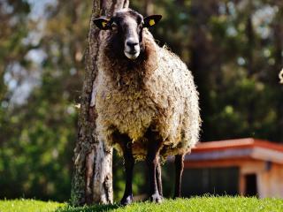 sheep, hair, grass wallpaper