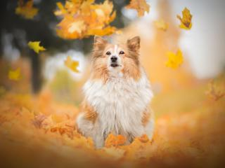 HD Wallpaper | Background Image Shetland Sheepdog Dog Breed
