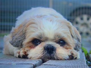 shih tzu, dog, muzzle wallpaper