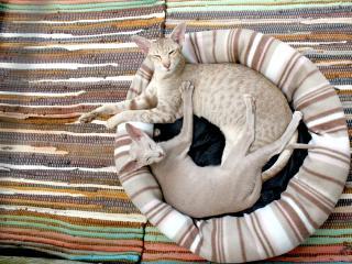 siamese cat, couple, lie wallpaper