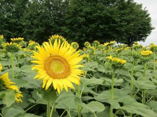 sunflowers, field, greens wallpaper