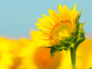 Sunflowers Macro wallpaper