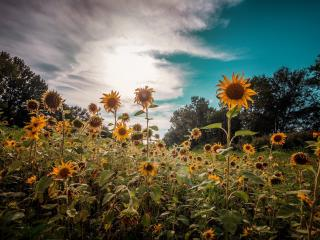 HD Wallpaper | Background Image Sunflowers Nature
