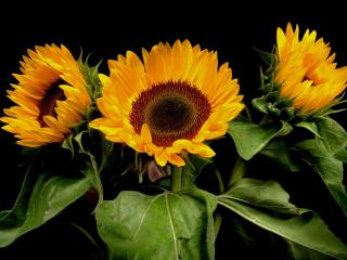 sunflowers, plants, three wallpaper