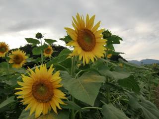 sunflowers, pollen, field wallpaper