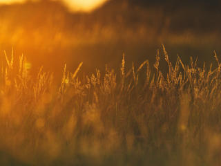 Sunset In Wheat Grass Field wallpaper