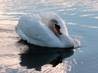 swan, swim, bird wallpaper