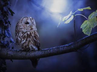 Tawny Owl In Moonlight wallpaper