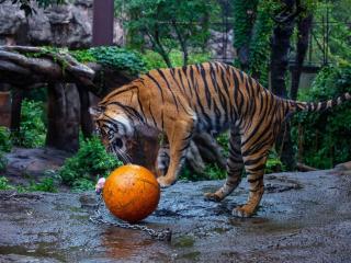 tiger, ball, zoo wallpaper