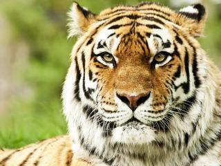 tiger, face, color wallpaper