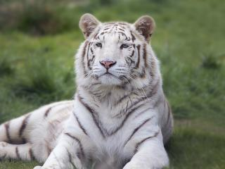 tiger, predator, lies wallpaper