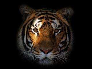 tiger, predator, snout wallpaper