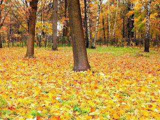 trees, forest, autumn wallpaper