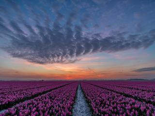 Tulip Field 5K wallpaper