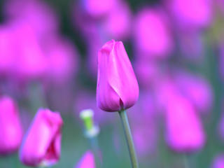 HD Wallpaper | Background Image tulip, flower, bud