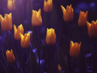 tulips, flowers, buds wallpaper