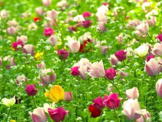 tulips, flowers, field wallpaper
