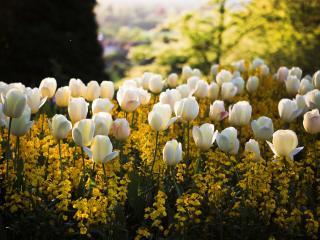 tulips, flowers, meadow wallpaper