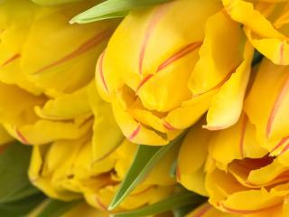 tulips, striped, flower buds wallpaper