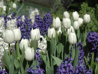 tulips, white, hyacinths wallpaper