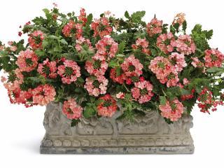 verbena, flowers, flowerbed wallpaper